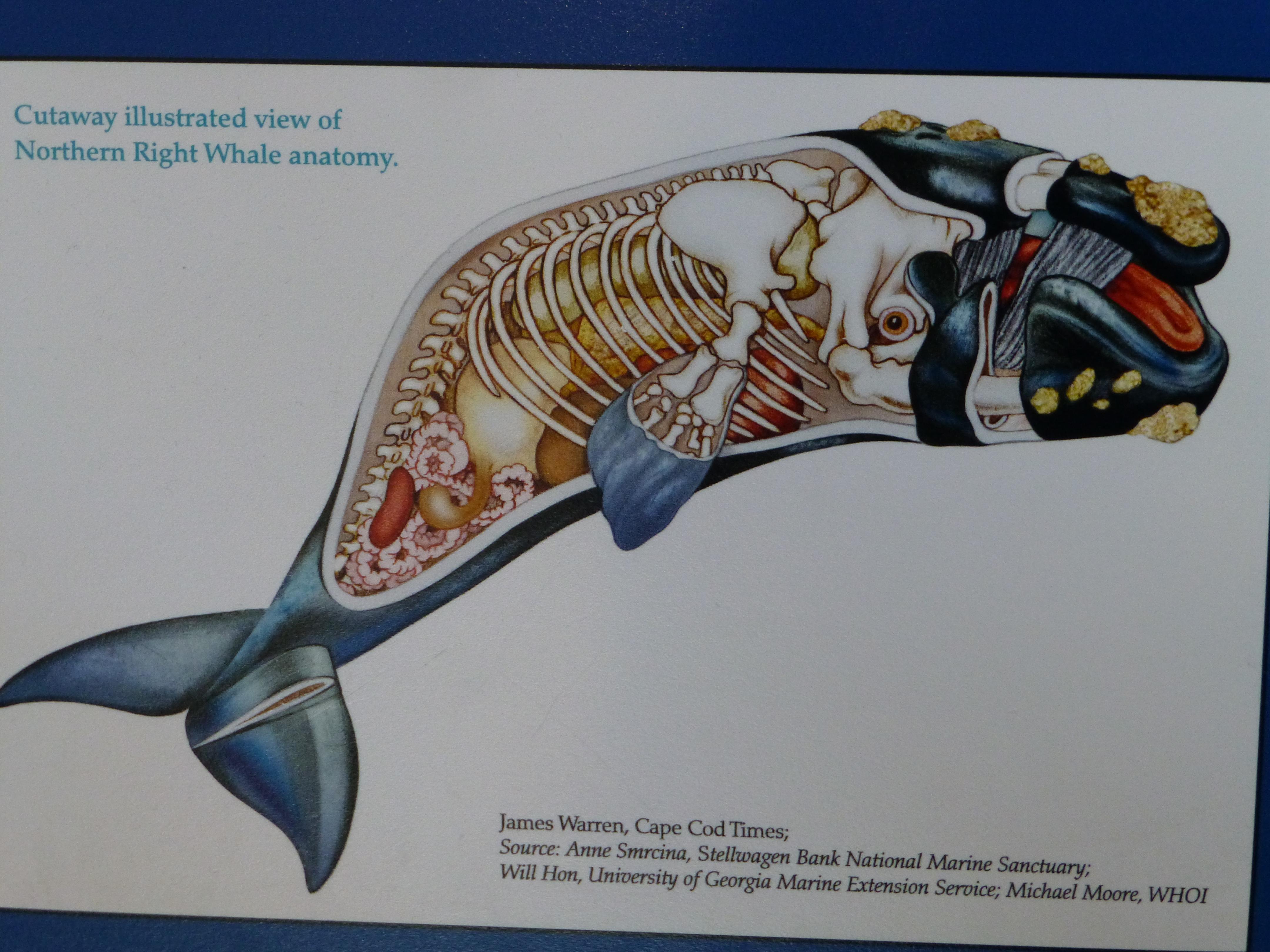 North Atlantic Right Whale – Bilge Water Blog