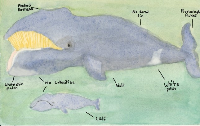 Bowhead Whale and Calf (Balaena mysticetus)